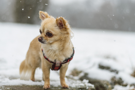 Cute long-haired beige chihuahua dog playing in the snow. Adorable dog posing. Stock Photo