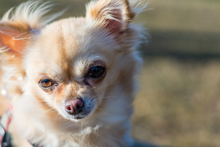 Portrait of a cute chihuahua, close-up shot, dog looking around. Nice hairy young dog. Stock Photo