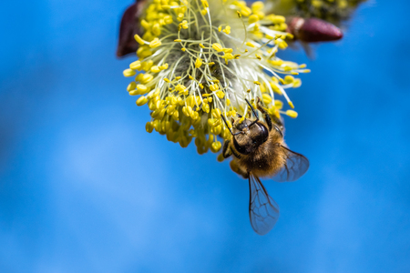 Honey bee (Apis mellifera) pollinating yellow flower of Goat Willow (Salix caprea). Beautiful macrophotography of nature in early spring.