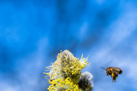 Honey bee (Apis mellifera) pollinating yellow flower of Goat Willow (Salix caprea). Beautiful macrophotography of nature in early spring. Flying bee.