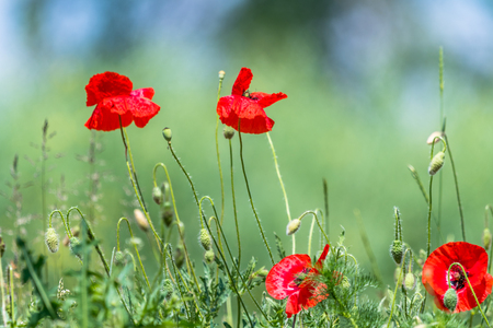 Many beautiful red flowers, poppies on a beautiful green background. Other names are Papaver rhoeas, common poppy, corn poppy, corn rose. Stock Photo