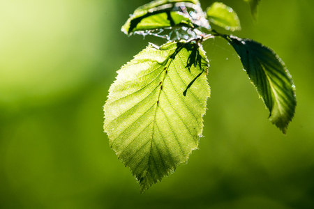 Green fresh leaves in direct sunlight. Bright green color, a leaves full of details. Shallow depth of field, blurred background. 스톡 콘텐츠