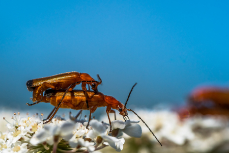Red-brown Longhorn Beetle is mating with another beetle on a flower. Side view, macro shot, blue sky on a background. Also known as Stictoleptura rubra.