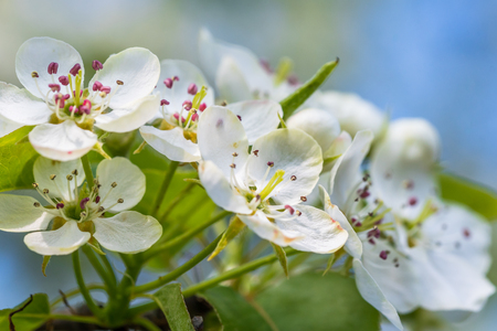 The apple tree in springtime in bloom. Beautiful white blooming flowers. Nice macro shot with shallow depth of field. Imagens