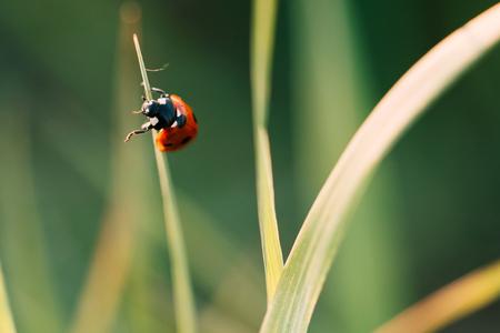 Biedronka pełza po łodygach trawy. Piękne zielone tło z płytkiej głębi ostrości. Szczegółowy strzał makro. Zdjęcie Seryjne
