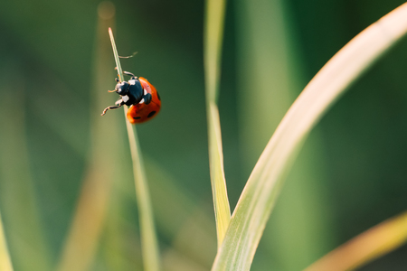 Ladybug crawling on the stalks of grass. Beautiful green background with shallow depth of field. Detailed macro shot. Stockfoto