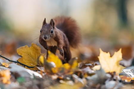 Portrait of a cute red squirrel (Sciurus vulgaris) in the autumn forest. Warm autumn colors.