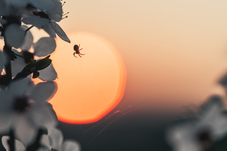 Sunset behind a white flowering tree with a small spider. Warm spring colors, decent color finish.