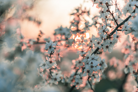 Sunset behind a white flowering tree. Warm spring colors, decent color finish. Stockfoto