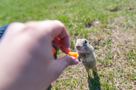 A wild european ground squirrel (Spermophilus citellus), also known as the European souslik in their habitat. Early spring, feeding from hand.