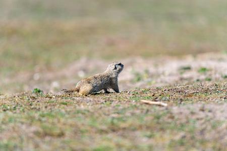 A wild european ground squirrel (Spermophilus citellus), also known as the European souslik in their habitat. Early spring.