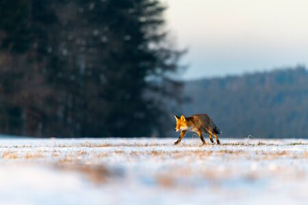Red Fox (Vulpes Vulpes) running on a meadow covered with snow. In the background is a forest. Winter morning, soft golden light. The fox is on the hunt.