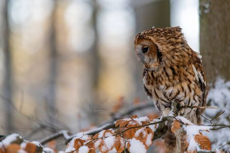 Little Owl (Strix aluco) sitting on a tree branch in a forest and looking around. Portrait, eye contact. There is snow on the branch.