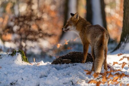 The young fox (Vulpes Vulpes) eats its prey. A fox eats a dead hare in the snow in the forest.