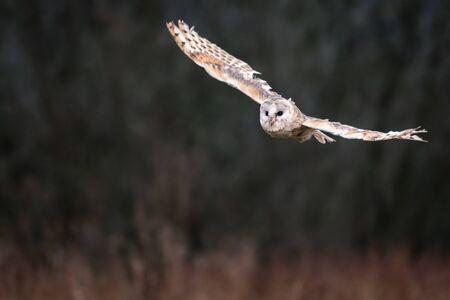 Barn Owl (Tieto Alba) in flight. Owl flying over autumn meadow in soft morning light. Action photos from nature, Czech Republic. Reklamní fotografie