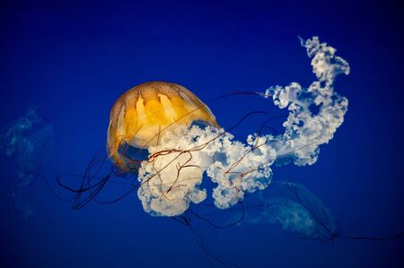 Small jellyfish floating in the water. Dark blue light is on background.