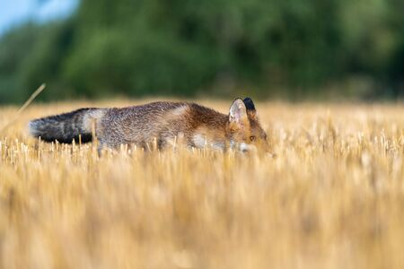 A fox sneaking in the field and looking around. Sunny autumn day. Reklamní fotografie