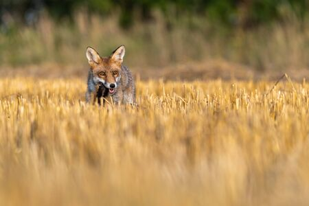 The fox holds a hamster in its mouth as its prey. Bright autumn day on the field.