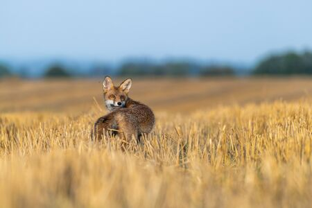 Fox on the field and looking around. Sunny autumn day.