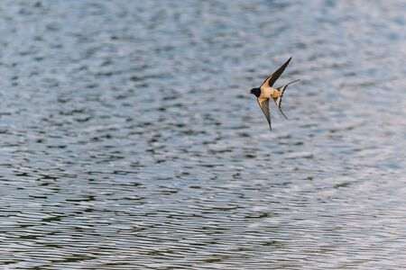 The barn swallow (Hirundo rustica) flying close to a pond surface. Bird in flight.