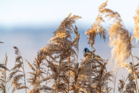 Little rare bird named bearded reedling (Panurus biarmicus) sitting on a reed by the pond. Close-up view of bird in natural habitat. Reklamní fotografie
