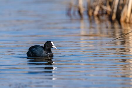 Eurasian coot (Fulica atra, Fulica prior) swimming in a lake during an autumn morning. Reeds are in the background.