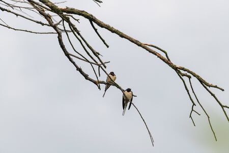The barn swallow (Hirundo rustica) sitting on a tree branch.