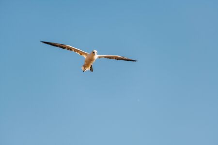 Northern Gannet (Morus bassanus) flying high in the sky above the sea. Captured on Helgoland Island in the North Sea.