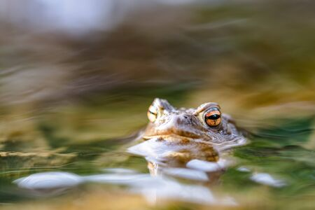 Common toad (Bufo bufo,) in a stream, only the head and eyes are visible above the surface. Close up of a beautiful frog.