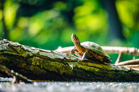 The red-eared slider (Trachemys scripta elegans) or water turtle basks on a trunk that is partially submerged in water. His head is up and he is looking at the sun.