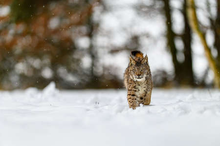 Eurasian lynx (Lynx lynx) in the winter forest in the snow, snowing. Big feline beast, young animal.