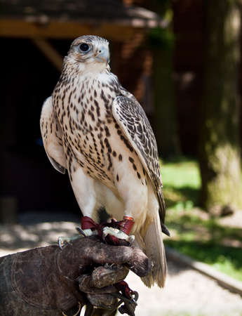 watchful: Watchful gyrfalcon sitting on a falconers glove