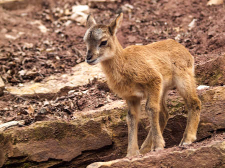 fawn: Mouflon fawn standing on a rock in a playful pose