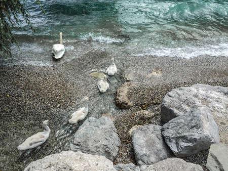 beack: Swan family with young swans entering the Lago di Garda Stock Photo