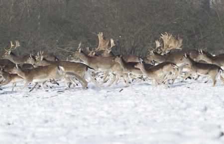runing fallow deer