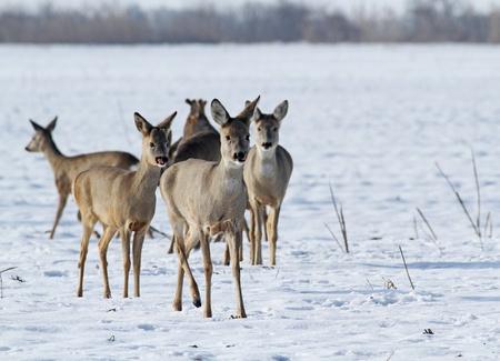 herd of roe deer