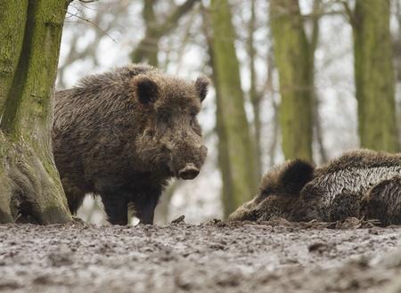 wild boar guard photo