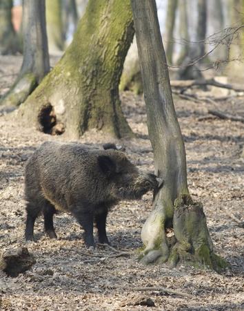 wild hog smell odors Standard-Bild