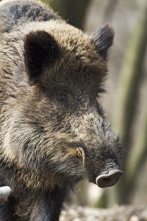 wild hog  Stock Photo - 9138616