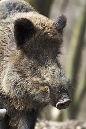 wild hog  Standard-Bild