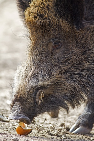 wild hog eating
