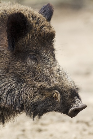 wild hog portrait photo