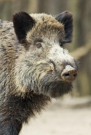 wild hog smelling something Standard-Bild