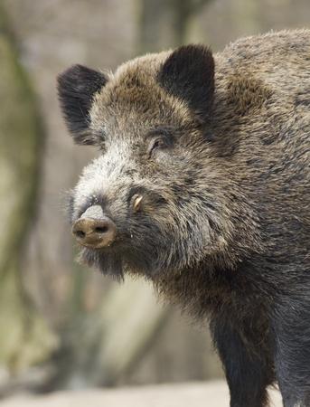 wild hog photo