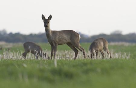 alfa female roe deer guarding herd Standard-Bild