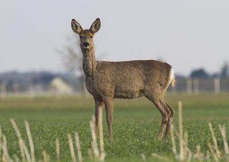 alfa female roe deer Standard-Bild