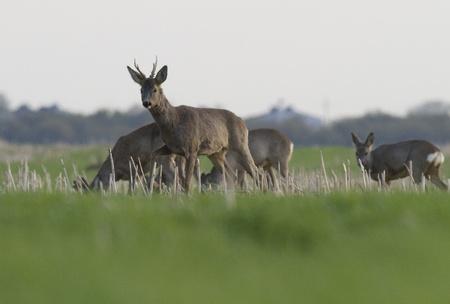 roe deer male guarding his herd Standard-Bild