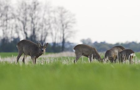 roe deer male calling