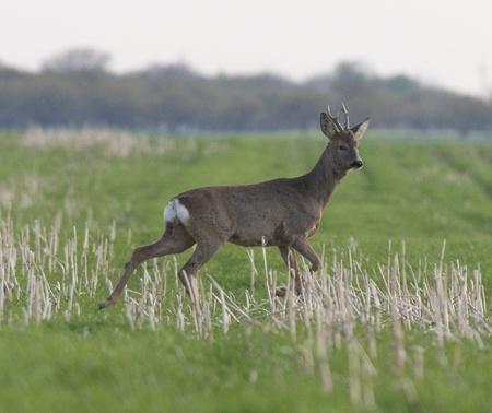 guarding: roe deer male