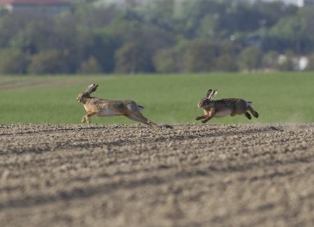 Hasen laufen Standard-Bild - 9493589